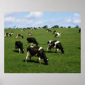 Holstein-Friesian cattle, Ireland Poster