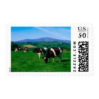 Holstein-Friesian cows near Borris, County Postage