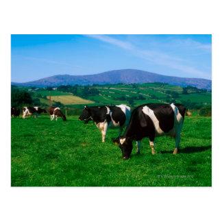 Holstein-Friesian cows near Borris, County Postcard