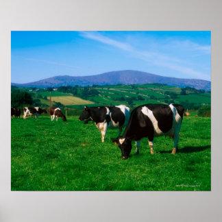 Holstein-Friesian cows near Borris, County Poster