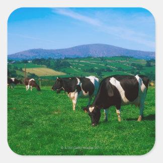 Holstein-Friesian cows near Borris, County Square Sticker