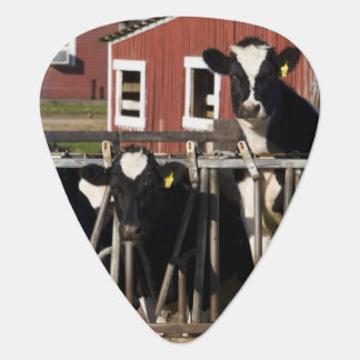 Holsteins at Boggy Meadow Farm in Walpole, New Pick