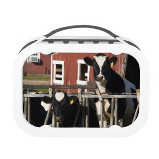 Holsteins at Boggy Meadow Farm in Walpole, New Lunch Box