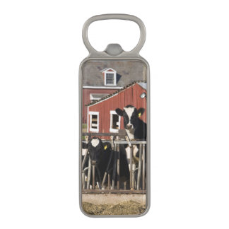 Holsteins at Boggy Meadow Farm in Walpole, New Magnetic Bottle Opener