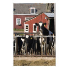Holsteins at Boggy Meadow Farm in Walpole, New Photo Print