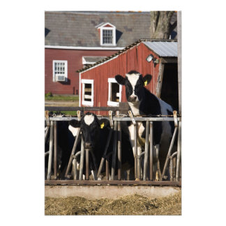 Holsteins at Boggy Meadow Farm in Walpole, New Photographic Print