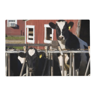 Holsteins at Boggy Meadow Farm in Walpole, New Placemat