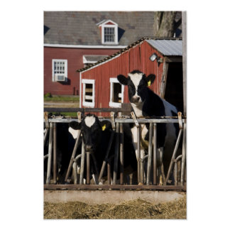 Holsteins at Boggy Meadow Farm in Walpole, New Poster