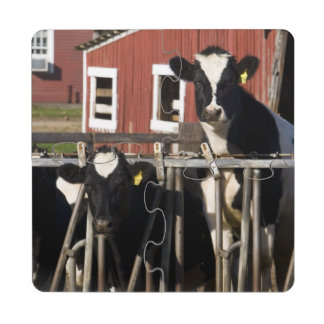 Holsteins at Boggy Meadow Farm in Walpole, New Puzzle Coaster