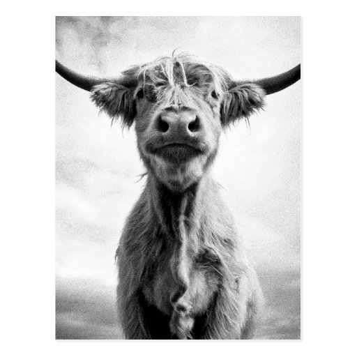 Holy Cow Mesotint Style Art Photography Postcard