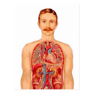 hombre médico de los órganos internos del arte del tarjetas postales