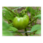 Home Grown Green Tomatoes Post Card