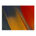 Honduras. Endangered scarlet macaw feathers, Post Card