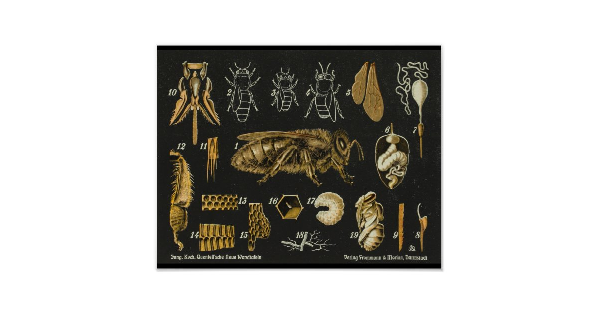 Honey Bee Anatomy Insect Vintage Poster Zazzle