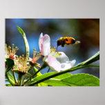 Honey Bee & Apple Blossom Poster