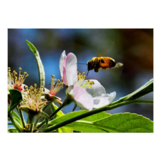 Honey Bee & Apple Blossom Poster