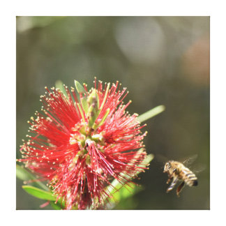 HONEY BEE & BOTTLE BRUSH FLOWER AUSTRALIA CANVAS PRINT