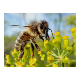 Honey bee feeding on flower poster
