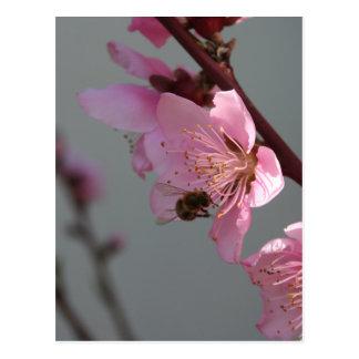 Honey Bee Feeding on Peach Tree Blossom Postcard