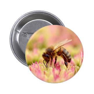 Honey bee feeding on sedum flower button