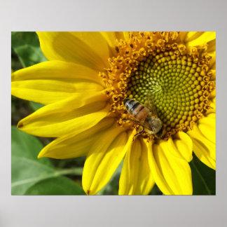 Honey bee of Yellow Sunflower Poster