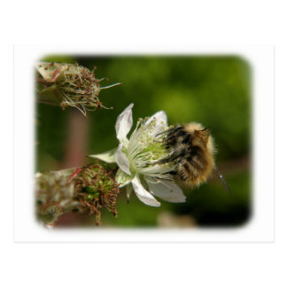 Honey Bee on a Bramble 9Y051D-013 Postcards