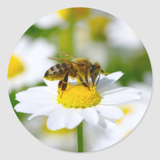 Zazzle Honey Bee on Daisy Classic Round Sticker