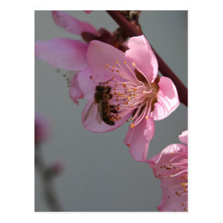 Honey Bee On Open Peach Tree Blossom Postcard