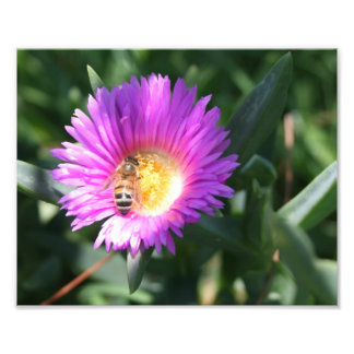 Honey Bee on Pink Daisy - 10 x 8 Photo Print