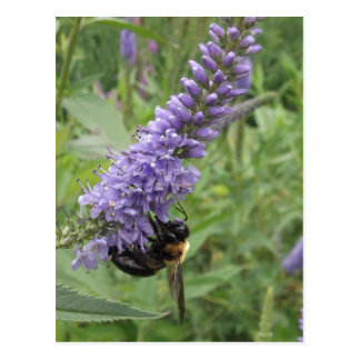 Honey Bee on Purple Flower Post Card