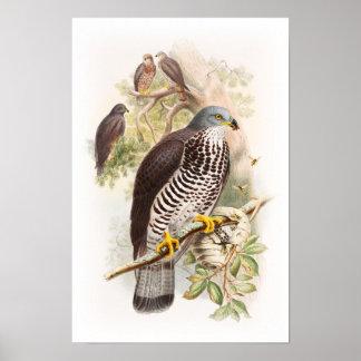 Honey-Buzzard John Gould Birds of Great Britain Poster