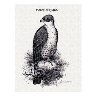 Honey Buzzard Vintage Bird Illustration Postcard