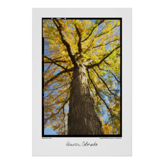 Honey Locust, Denver, Colorado Poster