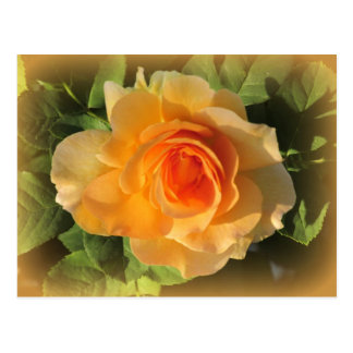 Honey Perfume Rose Postcard