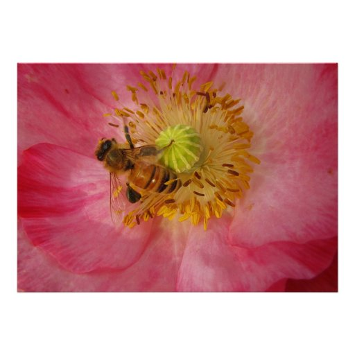 Honeybee in the Poppy Poster