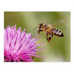 Honeybee landing on a milk thistle flower postcard