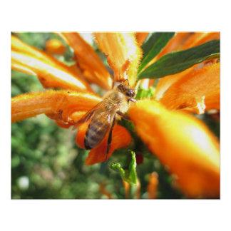 Honeybee on Lion's Tail Flower Poster