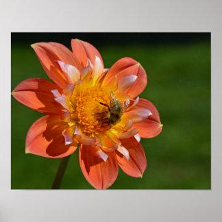 Honeybee on orange dahlia poster