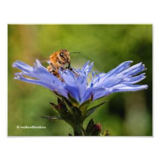 Honeybee on the Flowering Radicchio Photo Print