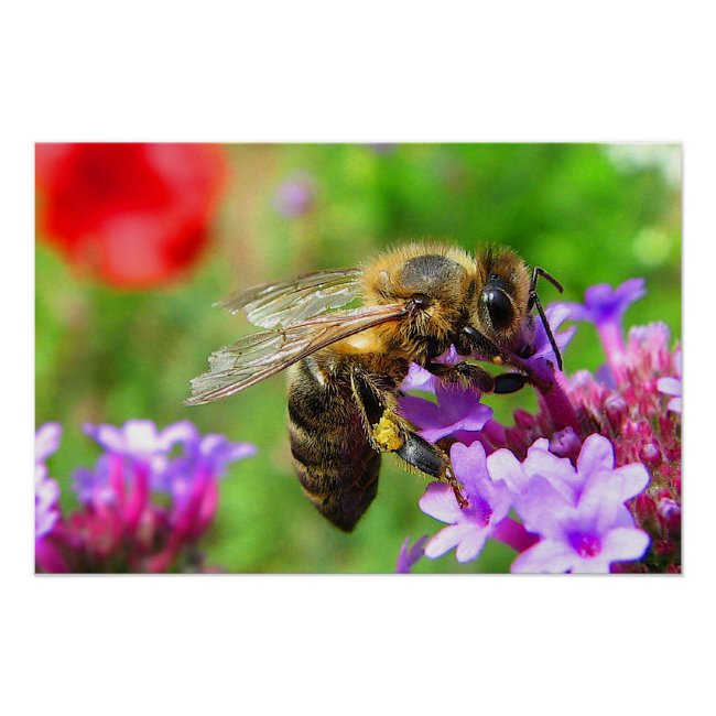 Honeybee on Verbena