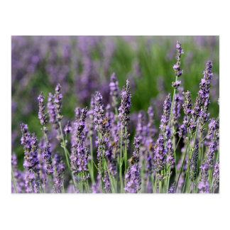 Honeybees on Lavender Flowers Postcard