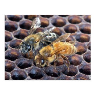 Honeycomb Bees Postcard