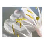 Honeysuckle Flower  Postcard