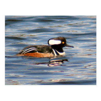 Hooded Merganser Duck Photo Postcard