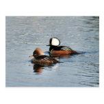 Hooded Merganser Ducks Photo Postcard