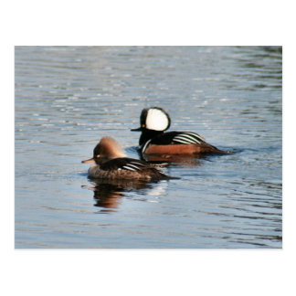 Hooded Merganser Ducks Photo Postcard