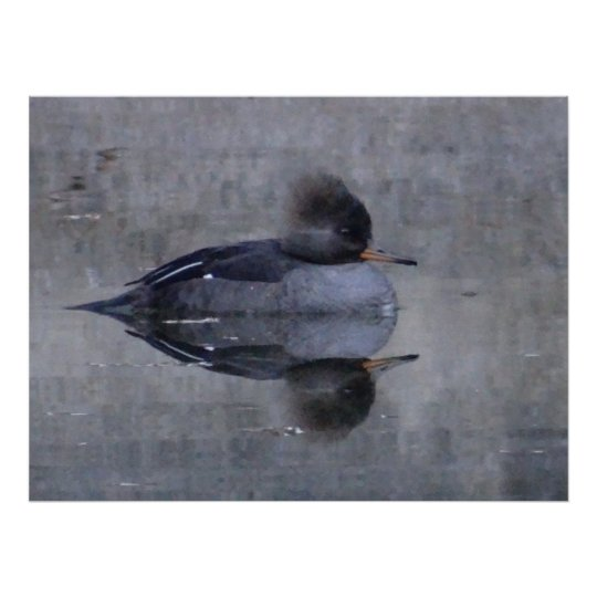 Hooded Merganser - female Poster