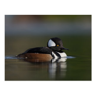 Hooded Merganser in evening light Postcard