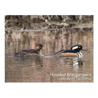 Hooded Mergansers Postcard