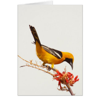 Hooded Oriole Greeting Cards
